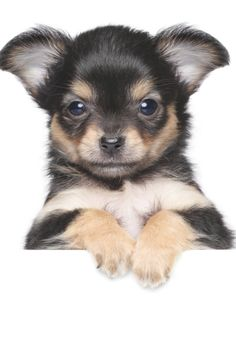 Chihuahua Facts, Cute Chihuahua, Teacup Chihuahua, Chihuahua Puppies, Cute Dogs And Puppies, Baby Dogs, Chihuahuas, Adorable Puppies, Teacup Puppies