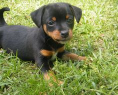 Chihuahua-MinPin mix (Chipin) Omg I would die if I saw this dog in real life. Although I don't really like small dogs.