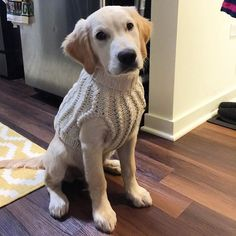 When that one relative is in town so you have to wear the sweater they got you last Christmas. Woodford the Golden ❤