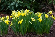 15 perennials you can't kill  Daffodil (Narcissus hybrids) Greet spring with the cheery yellow flowers of daffodils. These easy-grows-it bulbs last for years in the garden. Critters leave both bulbs and blooms alone, and clumps spread over time. Look for varieties with pink, orange and white flowers. Combines well with: lily-of-the-valley, Siberian iris and Shasta daisy. Hardy in Zones 3 to 8.