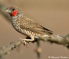 Cut-throat aka Bearded Finch, Africa