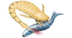 EN GARDE! Ancient sea scorpions (one illustrated) may have used serrated, swordlike tails for swimming or as weaponry. ~~ NATHAN ROGERS