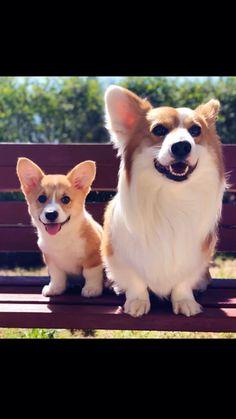 Corgi Funny, Cute Corgi, Cute Baby Animals, Funny Animals, Cute Potato, Super Cute Puppies, Little Critter, Funny Dog Pictures, Pembroke Welsh Corgi