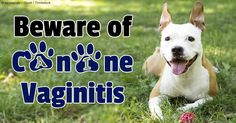 Vaginitis is an inflammation of the vagina, most commonly caused by a urinary tract infection. http://healthypets.mercola.com/sites/healthypets/archive/2014/04/14/dog-vaginitis.aspx