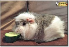 Read Frankie's story the Guinea Pig from Towson, Maryland  and see her photos at Pet of the Day http://PetoftheDay.com/archive/2015/March/02.html