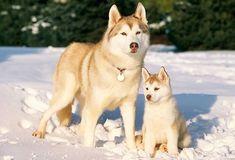 Siberian Husky. #siberianhusky