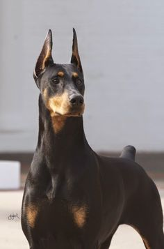 Roxie on steroids. Champion Doberman Pinscher Fifi, who is among the favorites at the Westminster Kennel Club 2013 dog show. The four-year-old is also known as the Fifinator. Big Dogs, I Love Dogs, Cute Dogs, Dogs And Puppies, Doggies, Doberman Pinscher Puppy, Doberman Dogs, Dobermans, Great Danes