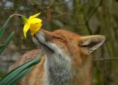 Best collection of cute Fox pictures. These pictures will make you fall in love with the fox all over again. Fox is one of the cutest animals in the universe. Cute Baby Animals, Animals And Pets, Funny Animals, Wild Animals, Spring Animals, Images Of Animals, Beautiful Creatures, Animals Beautiful, Romantic Animals