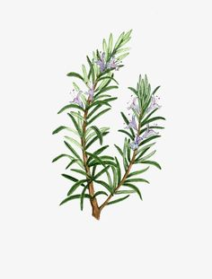 Rosemary plant material PNG and Clipart Illustration Art Drawing, Plant Illustration, Botanical Illustration, Botanical Flowers, Botanical Prints, Rosemary Plant, Rosemary Flower, Rosemary Tattoo, Flower Drawing Tutorials