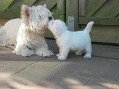 Westie terrier with puppy Westie Puppies, Westies, Cute Puppies, Dogs And Puppies, Doggies, Chihuahua Dogs, Pet Dogs, Bichons, Animals And Pets