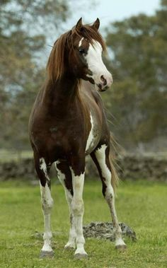 "Here is Fenwick Orion... he's a Chestnut Sabino, Purebred Arabian Stallion, 100% Crabbet Bred... These Arabians are unique in temperament, they are ""people-lovers""... their foremost character trait is loyalty and devotion to their care-taker..."