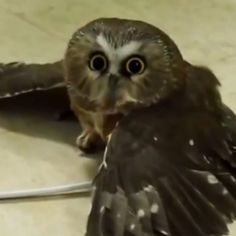 This is Mr. Bean. His hobbies include blinking adorably and keeping his cool. Mr. Bean is a Northern Saw-whet owl who lives at the Blandford Nature Center in Grand Rapids, Mich.