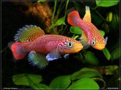 Nothobranchius-affinmelanospilusTAN-RB05-47-Kiziko--male-combat