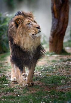 """""""Looking Skywards..."""" (A Handsome Male Lion.)"""