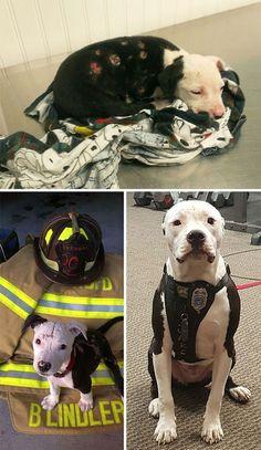 Rescued Pitbull