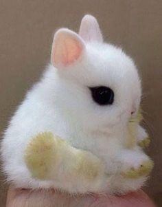 Dwarf Hotot bunny ✿⊱╮