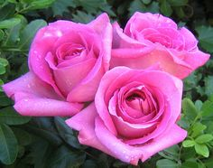 Everything is coming up roses ... | Flickr - Photo Sharing!