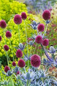 Combo: Drumstick Allium, Eryngium, Euphorbia  // Great Gardens & Ideas //