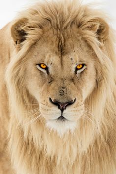 Lion... Wow! Look at those eyes!