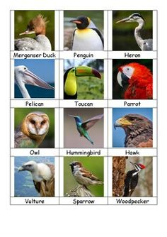 Pictures and names of various birds for sorting by beak or diet. Can also be used for matching the birds to their names or simply learning the names of common birds. Birds Pictures With Names, Animals Name With Picture, Fishing Pictures, Bird Pictures, Animal Pictures, Air Birds, Birds For Kids, Jungle Theme Parties, Common Birds