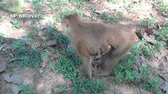 Bonita And Anita Life 6 - Monkey Aggressive Call Alpha To Fight