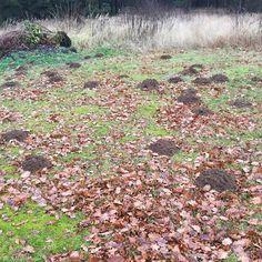 looks like the mole on my property is on speed #axelritt #the_real_ironfinger #mole #molehill #garden #autumn