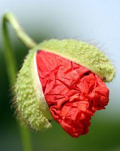 Poppy Flower emerging from pod, by Ferenc Ecseki