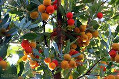 Medronhos de Monchique Portugal, Algarve, Landscapes, Gardening, Fruit, How To Make, Paisajes, Stuff Stuff, Islands