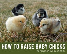 How To Raise Baby Chicks { A Beginners Guide with all the information you need to get started} Mmmm..fresh eggs!  happymoneysaver.com