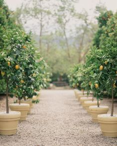 Orchard of fruit trees in pots on gravel