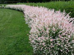 Garden Shrubs, Flowering Shrubs, Deciduous Trees, Trees And Shrubs, Small Shrubs, Dappled Willow Tree, Willow Bush, Hello Hello Plants, Asian Flowers