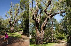 Eucalyptus marginata tree