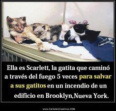 Ella es Scarlett, la gatita que camino a través del fuego 5 veces para salvar a sus gatitos en un incendio de un edificio en Brooklyn, Nueva York.