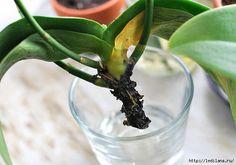 Комнатные орхидеи считаются сложными в уходе и содержании лишь потому, что у многих начинающих цветоводов растения гибнут из-за потери корневой системы. Можно ли, и как реанимировать орхидею, у которой сгнила или засохла большая часть питающих цветок корней? Осенне-зимний период максимально опасе