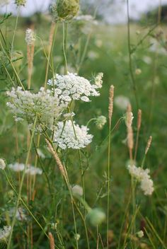 Queen Anns' Lace among the grass