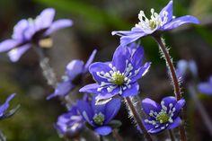 Common hepatica, anemone hepatica (sinivuokko) in Espoonlahti, Finland.
