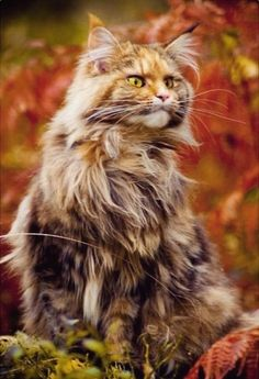 Main Coon cat, magnificence.