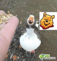 『クマのプーさん』にそっくりなアヒルが発見される