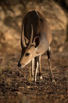 Don't be surprised when the animals come to visit you! Kruger National Park, National Parks, River Lodge, Kangaroo, South Africa, Safari, Animals, Animales, Animaux