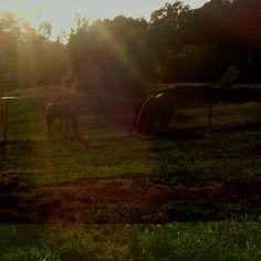 Horses grasing