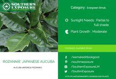 Rozannie-Japanese-Aucuba- rounded shrub