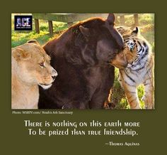#BLT Tiger, lion and bear form unusual friendship <3