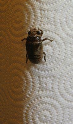 cicada molting animation / pretty, freaky