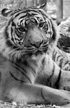 Whatcha lookin at tiger? | Flickr - Photo Sharing❤️