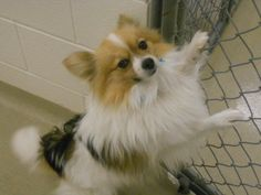 Shelton is an adoptable Pomeranian Dog in Battle Creek, MI. I am a male Pomeranian mix and I was born in April of 2010. I am very playful and absolutely adorable. I love to have attention all to mysel...