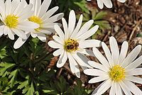 Anemone blanda white 2010-04-24.jpg