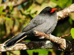 Chora-chuva-preto (Monasa nigrifrons)