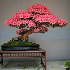 he word bonsai is most closely associated by most with the growing of miniature trees, and although this is somewhat accurate, there is a lot more to it than that. A bonsai is not a genetically overshadowed plant Bonsai Tree Price, Buy Bonsai Tree, Flowering Bonsai Tree, Japanese Bonsai Tree, Bonsai Trees For Sale, Bonsai Tree Care, Tree Sale, Bonsai Tree Types, Indoor Bonsai Tree