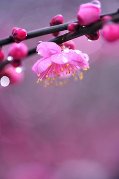 Japanese apricot blossom in the rain