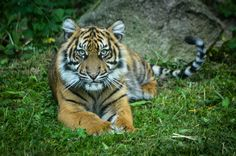 Sumatran tiger | by mellting